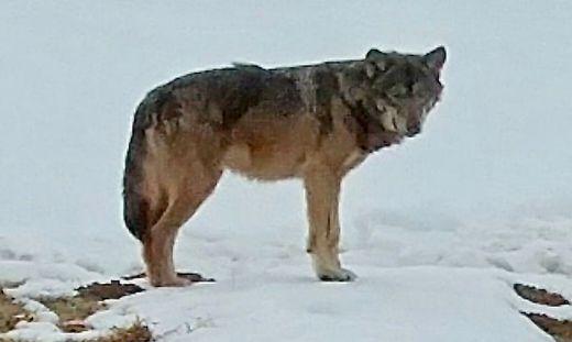 Am Dienstag gegen 8 Uhr fotografierte Jäger Siegfried Hebein den Wolf nahe einer Gemeindestraße
