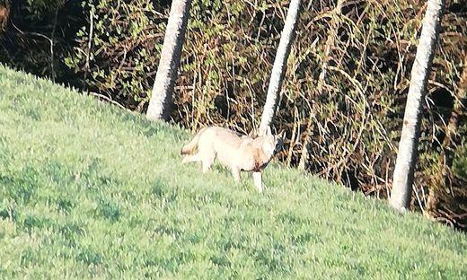 Diesen Wolf bekam ein Jäger bei St. Oswald ob Eibiswald vor die Linse