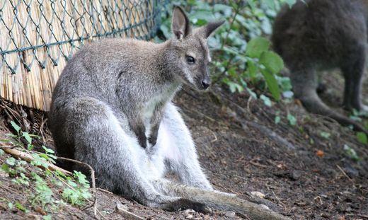Känguru Deutschland