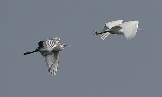 Kuestenreiher fliegt in der Brenndorfer Bucht hinter Seidenreiher
