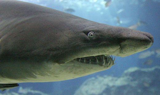 Hai-Angriff vor der Küste: Zwei Männer schwer verletzt