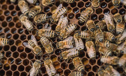 Wissenschaft: Grazer Jungforscher kämpfen gegen das Bienensterben