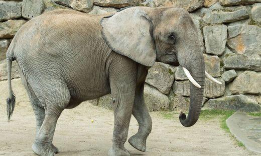 Das Elefanten-Weibchen Numbi im Tiergarten Schönbrunn ist trächtig
