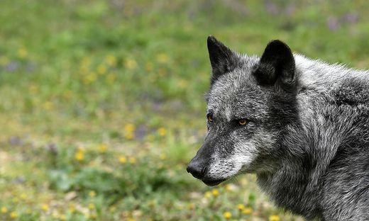 Ein Wolf sorgt in Hohenthurn für Verunsicherung bei Bürgern