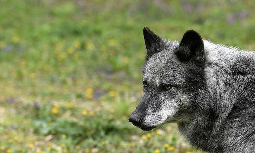 Wolf soll in Vorarlberg zwei Wildtiere gerissen haben