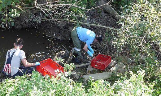 Neun Einsatzleute der FF Merkendorf entfernten bis zu 1000 Fische aus dem Sulzbach