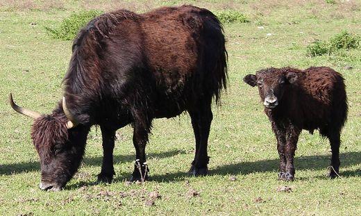 Die Yak-Kuh (Symbolbild) wollte vermutlich ihr Kalb beschützen