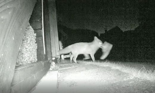 Der Fuchs wurde auf frischer Tat ertappt