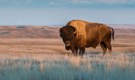 Auge in Auge mit einer Ikone: die Bisons fühlen sich in Oklahoma und Kansas wohl