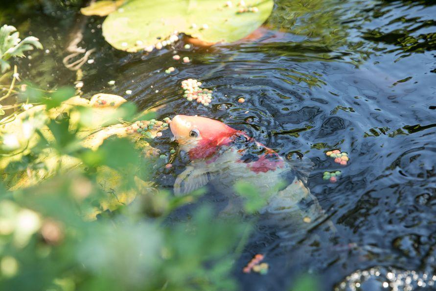 Mitten in graz exoten statt gartenzwerg dieser for Koi mit goldfischen