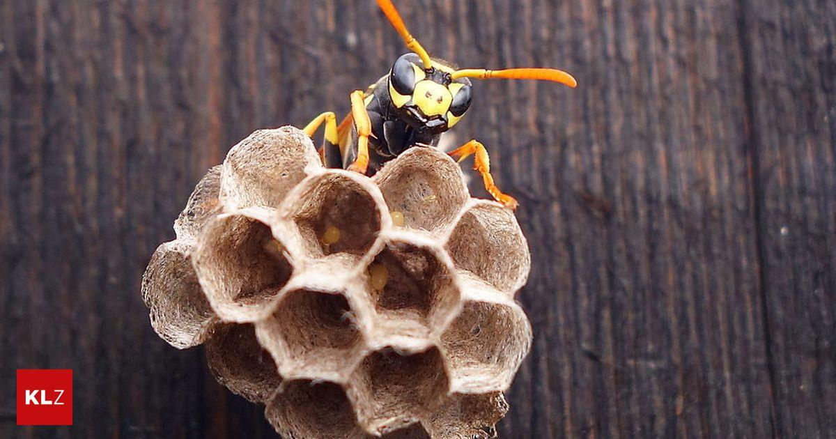 wespen bienen hornissen wespenjahr kennen sie ihr allergie risiko. Black Bedroom Furniture Sets. Home Design Ideas
