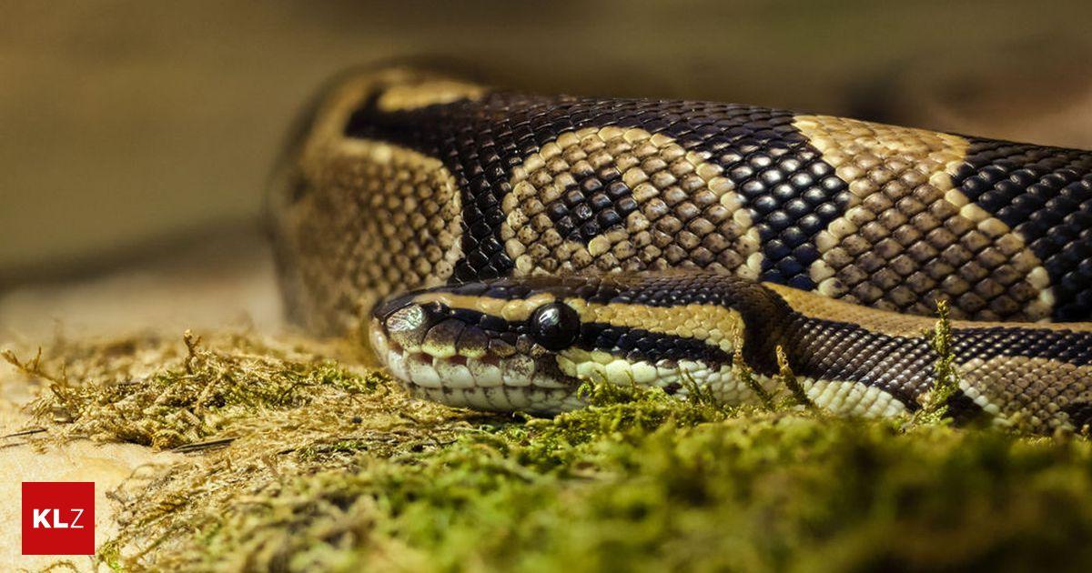 Illegal verkauft: 110 Schlangen in Wohnung entdeckt - Kleine Zeitung
