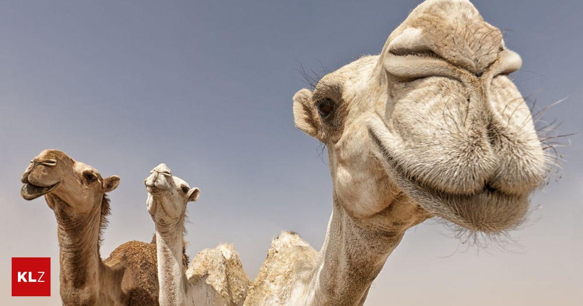 Schamane verteidigte Ritual zur Verbrennung von Kamelen