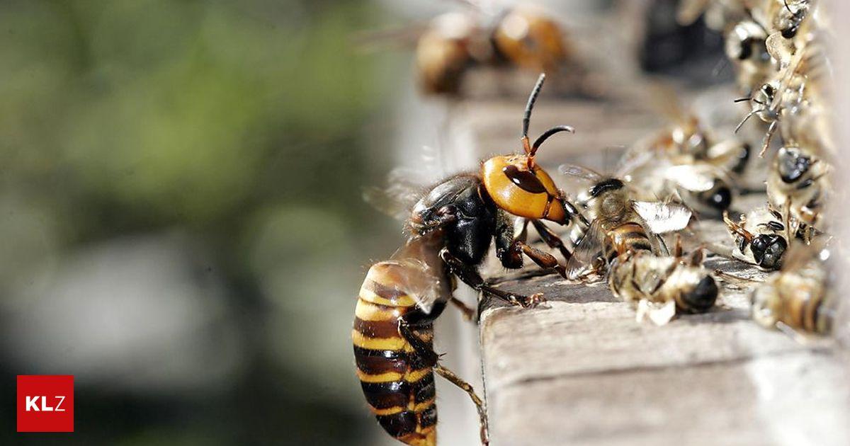 13 menschen im spital bei gemeindefest von hornissen attackiert. Black Bedroom Furniture Sets. Home Design Ideas