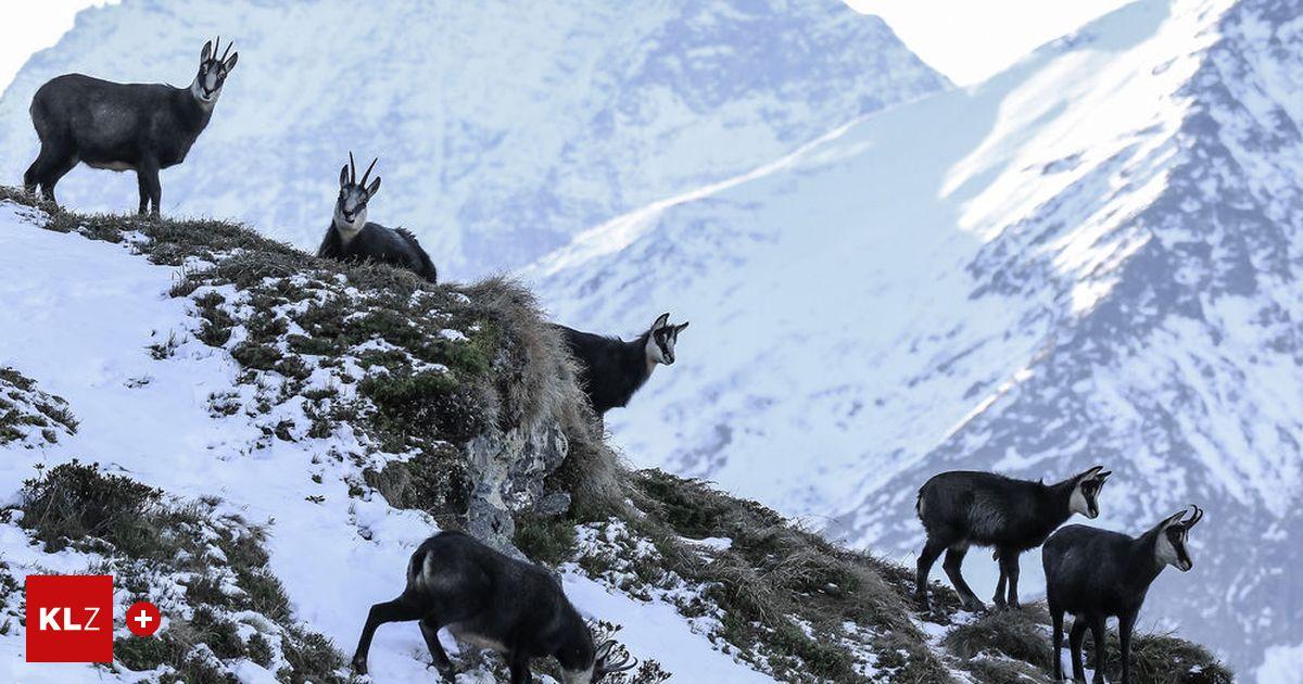 """Appell an Wintersportler: Jäger schreien auf: """"Man treibt Tiere bewusst in den Hungertod"""""""